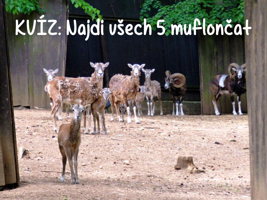 najdi-muflona