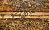 včely na plástvích