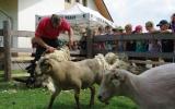 strihani ovci