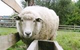 Výběh pro hospodářská zvířata - ovce domácí