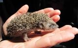 mládě ježka