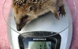 vážení ježka