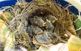 Mláďata drozda zpěvného, která přišla o hnízdo