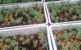 Mladé sazeničky sekvojovce vypěstované v Zahradnictví Ďáblice