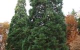 Dva sekvojovce v Kunratickém lese