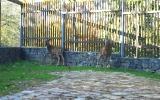 Mufloní pár se rozkoukává