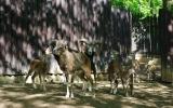 Mufloni pozorně sledují, co se to děje v jejich výběhu