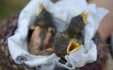 Osiřelá ptačí mláďata