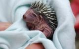 Pouze několik dní staré mládě ježka