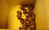 30 netopýrů rezavých z pokáceného stromu