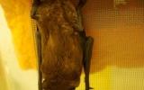 Původně vyhublá samička netopýra rezavého, která byla pravděpodobně vyrušena z hibernace