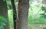 Acer saccharinum - infekce báze kmene, hrozí rozlomení