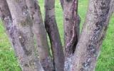 Fraxinus excelsior - nevhodná struktura větvení, poškození větví