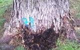 poškozené stromy na Vítkově