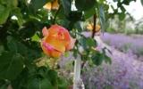 rozkvetlý Růžový sad na Petříně