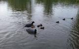 rodina lysek černých