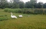 rodina labutí velkých