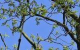 Redukce koruny stromu