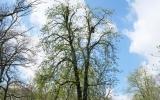 Redukce koruny stromu - v průběhu prací