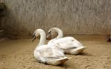 Pacientce začala dělat společnost další labuť, která omylem přistála na Strakonické ulici a utrpěla otřes po nárazu