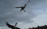 Ptačí obyvatelé Vltavy