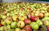 posbirana jablka