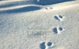 3682775-animal-footprints-cast-in-fresh-white-snow