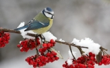 berries-bird-branch-snow-winter-animal