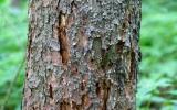 strom napadený kůrovcem
