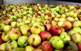 sběr jablek od ZŠ Mníšek pod Brdy