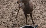 Nemáš tam ještě něco dobrého? Zvědavá laň jelena siky hlídala ve svém rajónu každý náš krok
