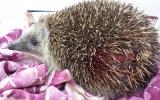 Pokousaný ježek