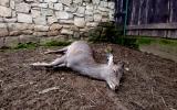 uhynulá laň jelena siky