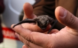 Zachránění netopýři zamíří na svobodu do Stromovky