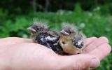 Mláďata pěnkavy obecné ze zničeného hnízda