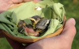 Mláďata sýkory koňadry ze zničeného hnízda