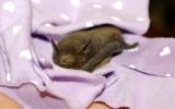 Samička netopýra parkového, která zabloudila do lidského příbytku