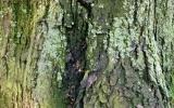 Acer saccharinum. Stabilita a zdravotní stav výrazně zhoršený, nakloněný strom (nad chodník) s infekcí kmene a kořenů dřevomorem kořenovým.