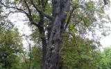 Aesculus hippocastanum. Zdravotní stav výrazně zhoršený, defektní větvení, poškozená báze kmene, infekce přechází do oblasti kořenového systému, extrémně zhoršené stanovištní poměry, redukovaná koruna, dynamicky prosychá. Nakloněný kmen, strom se nachází v zóně frekventovaných cest.