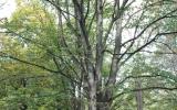 Tilia tomentosa. Rozpadlý (havarijní) strom, prasklá tlaková vidlice, hrozí rozlomení.