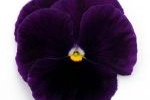 Viola wittr. 'Purple'