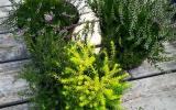 Vřesy a vřesovce v Zahradnictví Ďáblice
