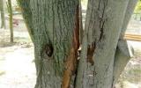Hniloba poškodila strom a narušila jeho stabilitu