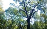památný dub v Satalické oboře