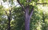 památný dub na hrázi Počernického rybníka