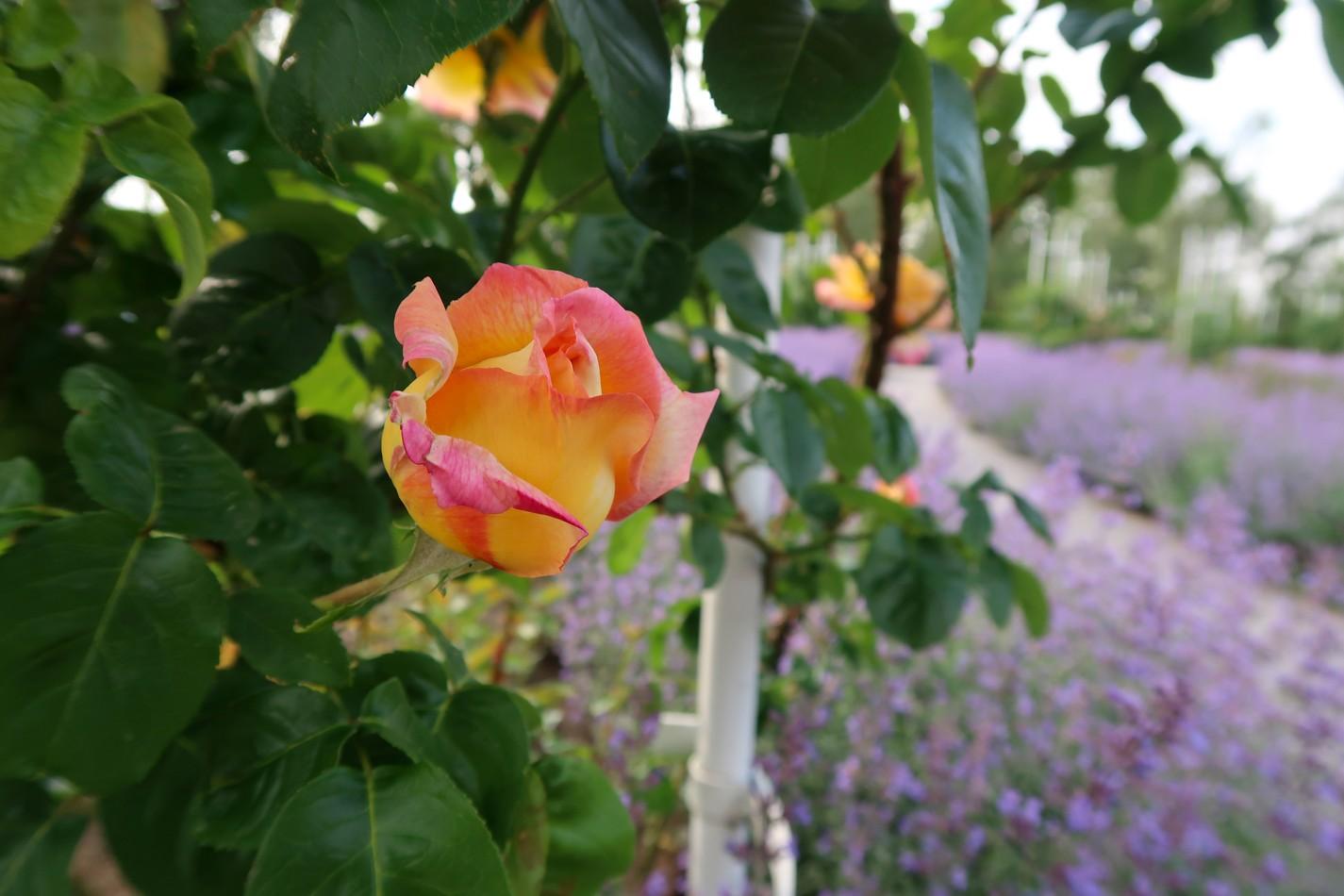Růžový sad