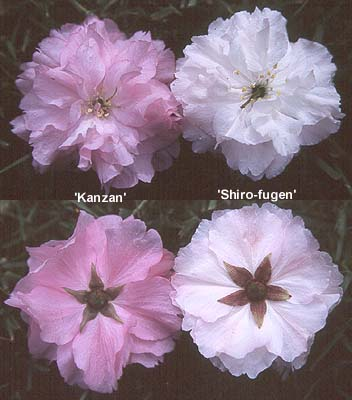 okrasné třešně Prunus serrulata ´Kanzan´ a Prunus serrulata ´Shiro-fugen´